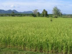 riz-tanzanien-1.jpg